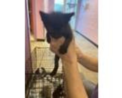 Adopt Henry Dill Pickle a All Black Domestic Mediumhair / Mixed cat in El Paso