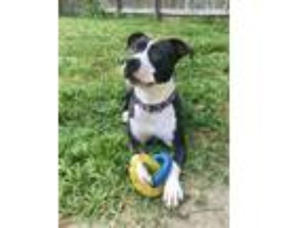 Adopt Carbie a Pit Bull Terrier, Whippet