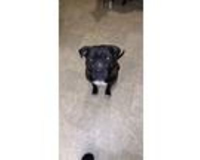Adopt Scar a Black American Pit Bull Terrier / Mixed dog in Fountain