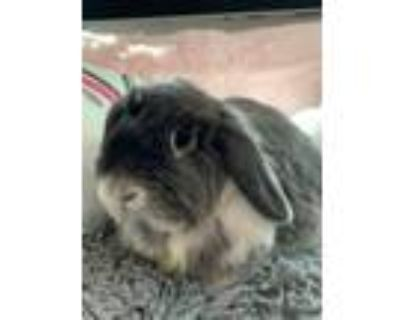 Adopt Stormy a Holland Lop