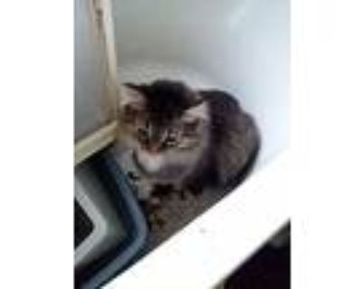 Mrs. Norris, Maine Coon For Adoption In Brookhaven, Pennsylvania