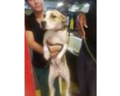 Adopt Amy a Hound, Jack Russell Terrier