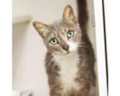 Adopt Buffalo a Gray or Blue American Wirehair / Domestic Shorthair / Mixed cat