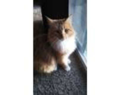 Adopt Leo a Orange or Red Tabby Domestic Longhair / Mixed (long coat) cat in