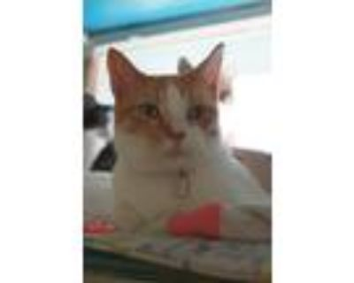 Adopt James a Orange or Red Tabby Domestic Shorthair (short coat) cat in New