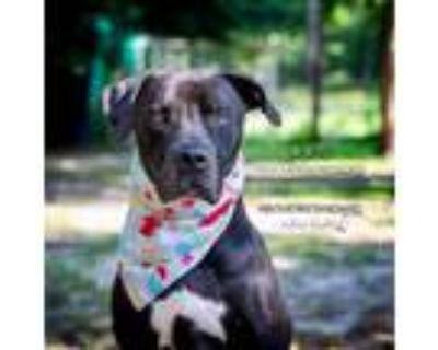 Adopt DUKE (aka Pharaoh) a Labrador Retriever, Great Dane