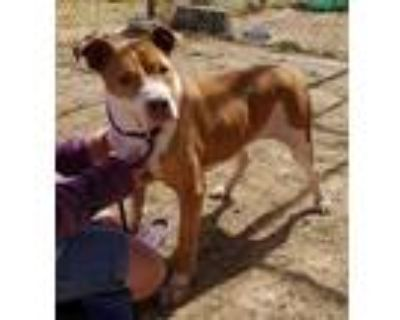 Adopt Scribbles a Red/Golden/Orange/Chestnut - with White Pit Bull Terrier /