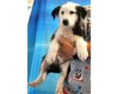 Adopt 159656 a Black Labrador Retriever / Border Collie / Mixed dog in