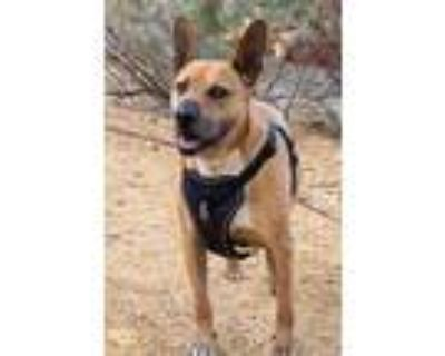 Adopt Dozer a Bull Terrier / Shar Pei / Mixed dog in Albuquerque, NM (32039450)