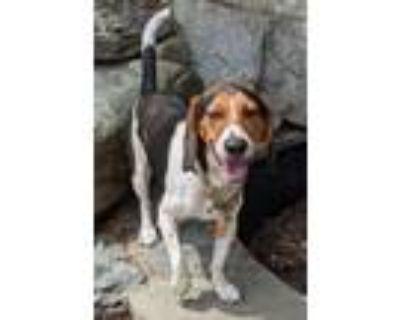 Adopt Mochi a Beagle, Mixed Breed
