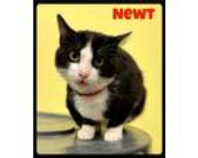 Adopt Newt - 2107211 / 2021 a Black & White or Tuxedo Domestic Shorthair / Mixed