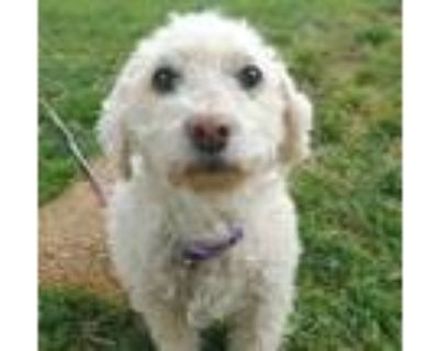 Adopt Muffin Cakes a White Poodle (Miniature) / Mixed dog in Itasca