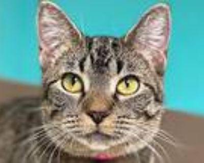Luna, Domestic Shorthair For Adoption In Sherwood, Oregon