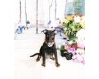 Adopt Bissa a Black - with Tan, Yellow or Fawn Labrador Retriever / Mixed dog in