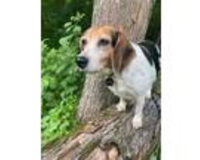 Adopt Droopy a White Beagle / Mixed dog in Spring City, PA (31434773)