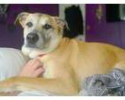 Adopt Elroy a Shepherd, Labrador Retriever