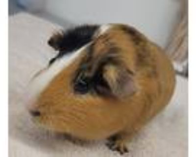 Adopt BUGSY a Brown or Chocolate Guinea Pig (short coat) small animal in Tucson