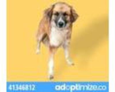 Adopt Mozart a Black St. Bernard / Mixed dog in El Paso, TX (31611470)