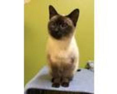 Adopt Stella a Brown or Chocolate Siamese / Mixed (short coat) cat in Blasdell