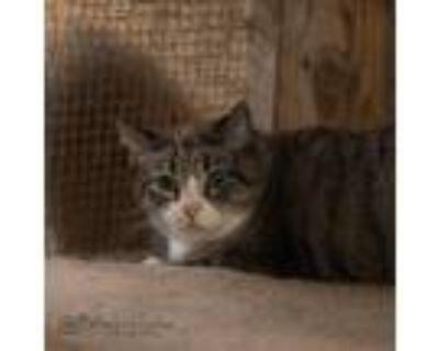 Adopt Ginger a Gray, Blue or Silver Tabby American Shorthair / Mixed (short