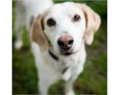 Adopt 21-031 Judy a White - with Tan, Yellow or Fawn Hound (Unknown Type) dog in