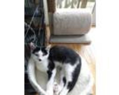 Adopt melinda a Black & White or Tuxedo Domestic Shorthair (short coat) cat in