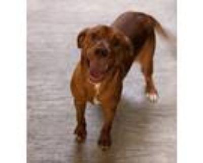 Adopt Ginny a Labrador Retriever
