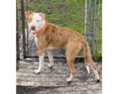 Adopt Rubble a Tan/Yellow/Fawn - with White American Pit Bull Terrier / Mixed