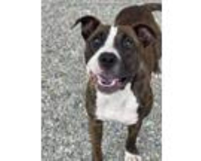 Adopt MOLLY a Brindle - with White American Pit Bull Terrier / Boxer / Mixed dog