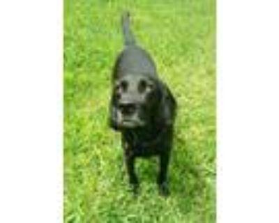 Adopt Chaplin a Labrador Retriever, Hound