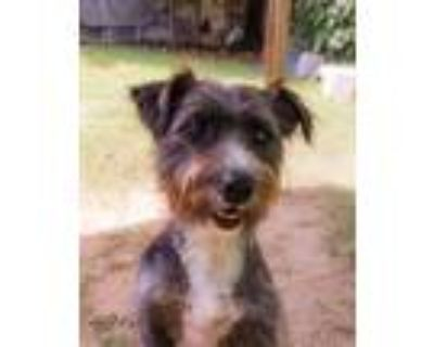 Adopt Ben a Brown/Chocolate - with Black Terrier (Unknown Type