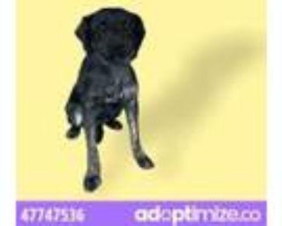 Adopt 47747536 a Black Dutch Shepherd / Mixed dog in El Paso, TX (31481806)