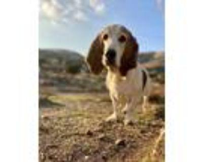Adopt Batster- Baxter a Basset Hound
