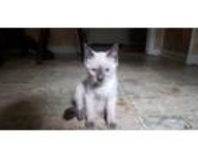 Adopt Ash ???? a White (Mostly) American Shorthair / Mixed (short coat) cat in