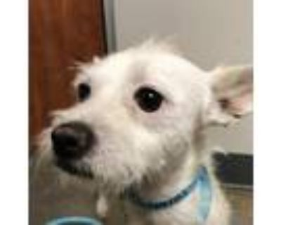 Adopt Brett a White - with Tan, Yellow or Fawn Terrier (Unknown Type