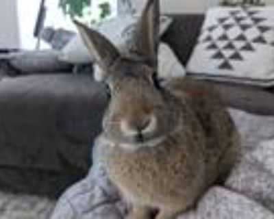 Adopt Jennifer a Other/Unknown (short coat) rabbit in Woburn, MA (31634464)