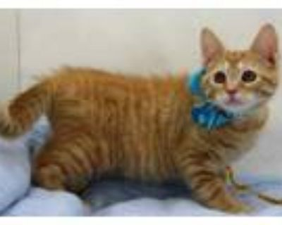 Adopt Bolo Tie (Main Campus) a Orange or Red Domestic Shorthair / Domestic