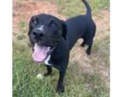 Adopt Ava a Pit Bull Terrier, Border Collie