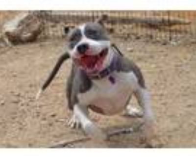 Adopt Faith - PS a Gray/Silver/Salt & Pepper - with White American Staffordshire