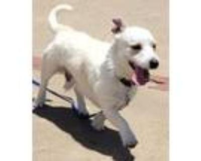 Adopt BEN a West Highland White Terrier / Westie