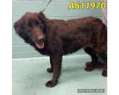 Adopt a Black Labrador Retriever / Mixed dog in San Antonio, TX (32066759)