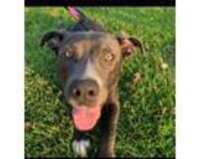 Adopt Colt a Labrador Retriever, Pit Bull Terrier