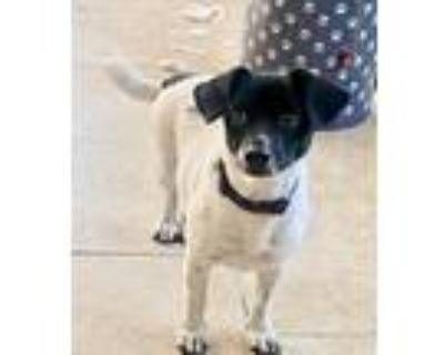 Adopt Bullet a White - with Black Dachshund / Corgi / Mixed dog in Missouri