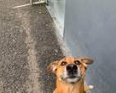Adopt Mia a Tan/Yellow/Fawn - with White Shar Pei / Terrier (Unknown Type