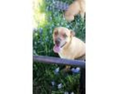 Adopt Olive a Tan/Yellow/Fawn - with White Boxer / Labrador Retriever dog in