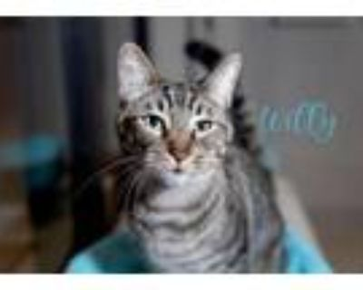 Adopt Willy (Bonded with Matty) a Domestic Short Hair