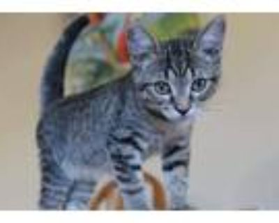 Adopt Woods a Brown Tabby Domestic Shorthair cat in Tucson, AZ (32131109)