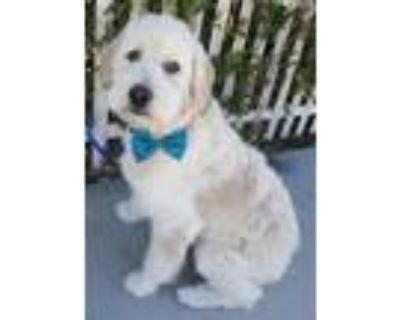 Adopt Benji a Tan/Yellow/Fawn Poodle (Miniature) / Golden Retriever / Mixed dog