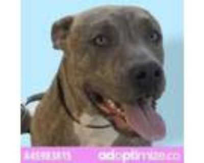 Adopt Sisko a Brown/Chocolate Pit Bull Terrier / Mixed dog in El Paso