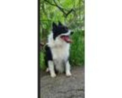 Adopt Ring a Border Collie